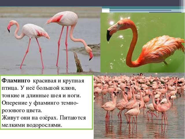Фламинго красивая и крупная птица. У неё большой клюв, тонкие и длинные шея и...