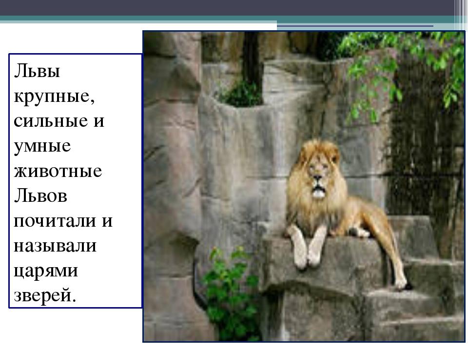 Львы крупные, сильные и умные животные Львов почитали и называли царями звере...