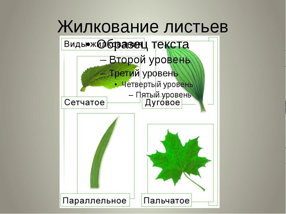 слайда 9 Жилкование листьев