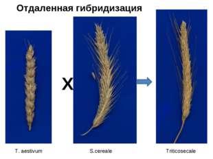 Х T. aestivum S.cereale Triticosecale Отдаленная гибридизация