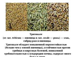 Тритикале (от лат. triticum — пшеница и лат. secale — рожь) — злак, гибрид рж