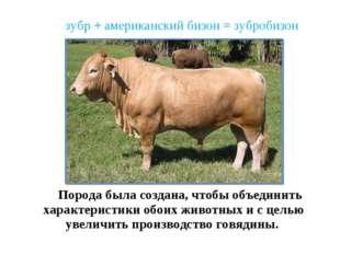 зубр + американский бизон = зубробизон Порода была создана, чтобы объединить