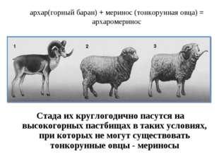 архар(горный баран) + меринос (тонкорунная овца) = архаромеринос Стада их кру