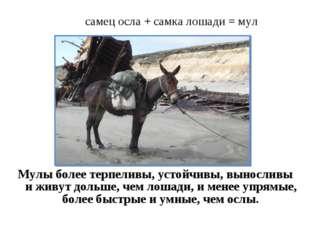 самец осла + самка лошади = мул Мулы более терпеливы, устойчивы, выносливы и