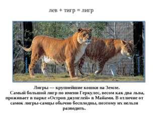 лев + тигр = лигр Лигры — крупнейшие кошки на Земле. Самый большой лигр по им