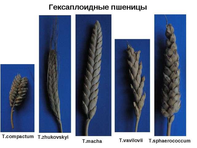 Гексаплоидные пшеницы T.compactum T.zhukovskyi T.macha T.vavilovii T.sphaeroc...