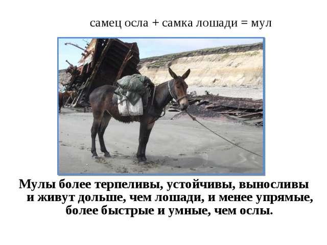 самец осла + самка лошади = мул Мулы более терпеливы, устойчивы, выносливы и...