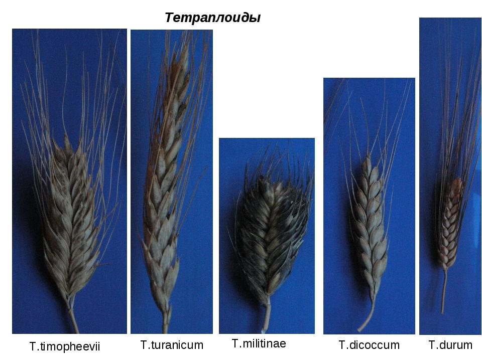 Тетраплоиды T.timopheevii T.turanicum T.militinae T.dicoccum T.durum