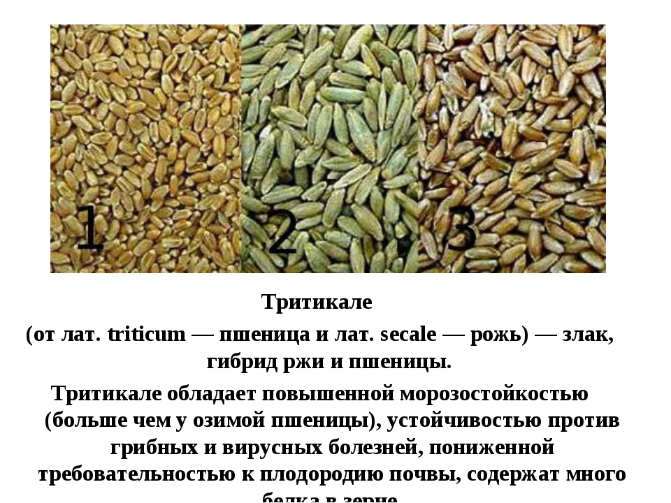 Тритикале (от лат. triticum — пшеница и лат. secale — рожь) — злак, гибрид рж...