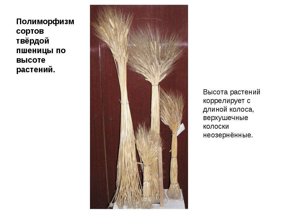 Полиморфизм сортов твёрдой пшеницы по высоте растений. Высота растений коррел...