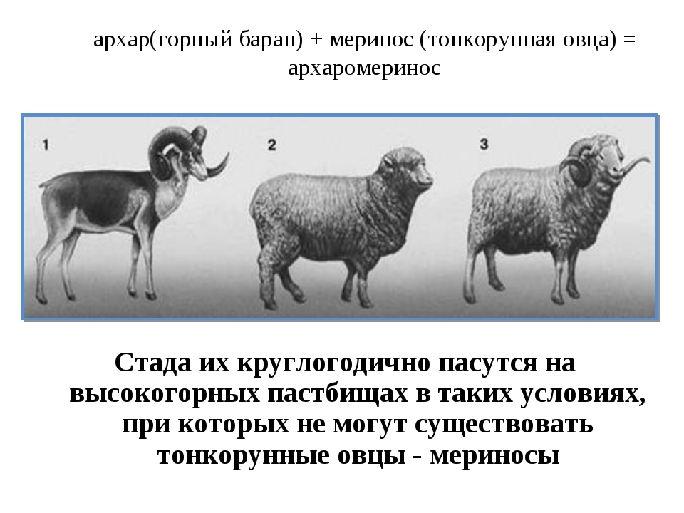 архар(горный баран) + меринос (тонкорунная овца) = архаромеринос Стада их кру...
