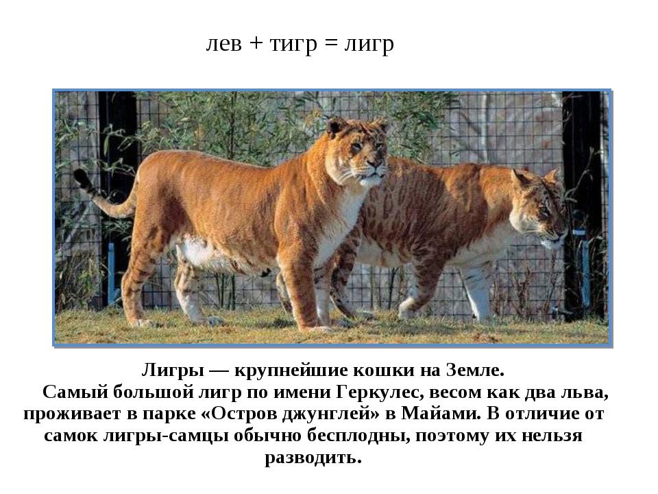лев + тигр = лигр Лигры — крупнейшие кошки на Земле. Самый большой лигр по им...