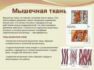 Мышечная ткань Мышечная ткань составляет основную массу мышц. Она обеспечивае