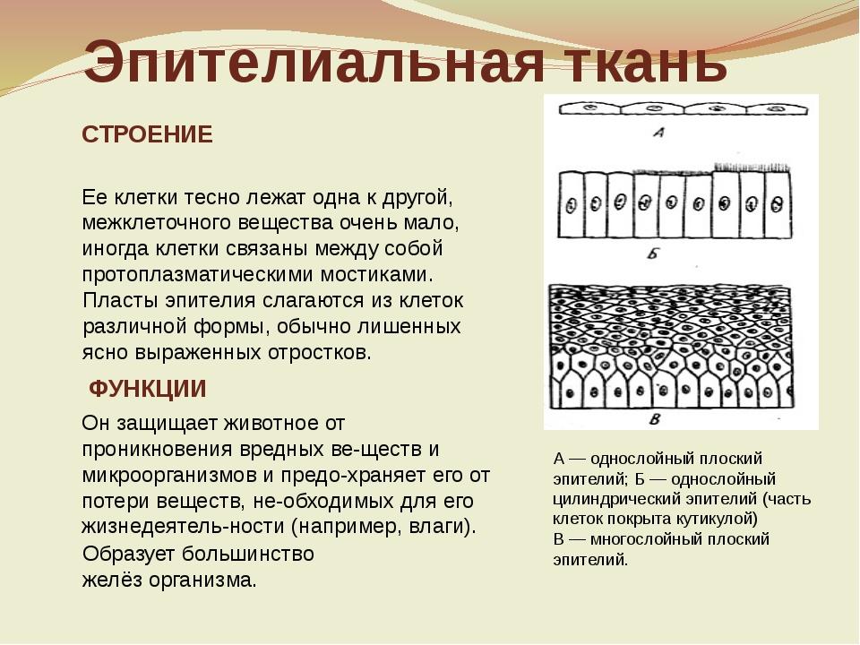слайда 6 Эпителиальная ткань