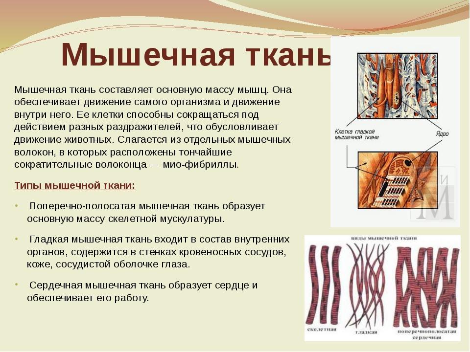 Мышечная ткань Мышечная ткань составляет основную массу мышц. Она обеспечивае...