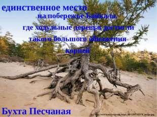 Бухта Песчаная на побережье Байкала, где ходульные деревья достигли такого бо