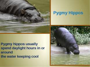 Pygmy Hippos Pygmy hippos usually spend daylight hours in or around the water