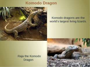 Komodo Dragon Komodo dragons are the world's largest living lizards. Raja the