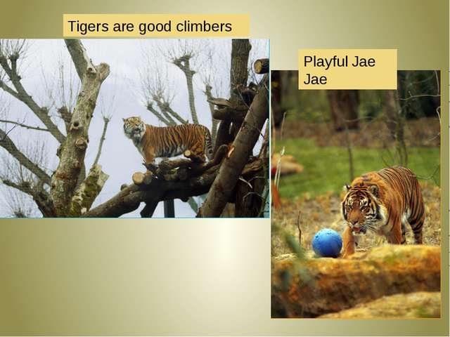 Tigers are good climbers  Playful Jae Jae