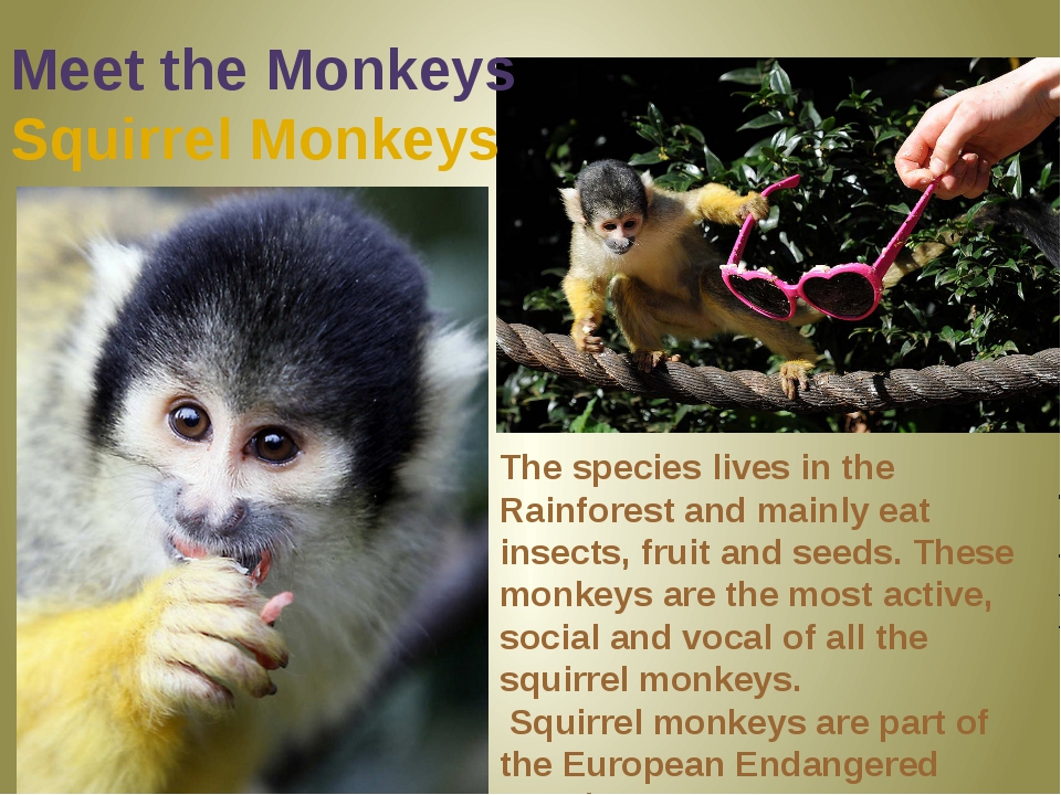Meet the Monkeys Squirrel Monkeys The species lives in the Rainforest and mai...