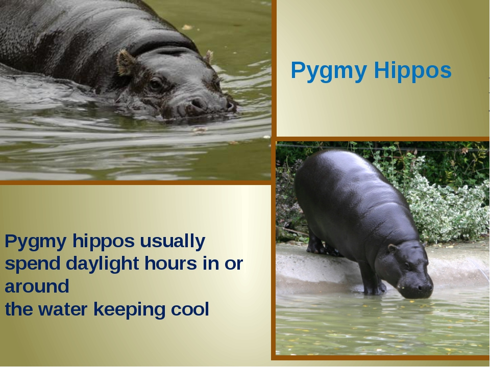 Pygmy Hippos Pygmy hippos usually spend daylight hours in or around the water...