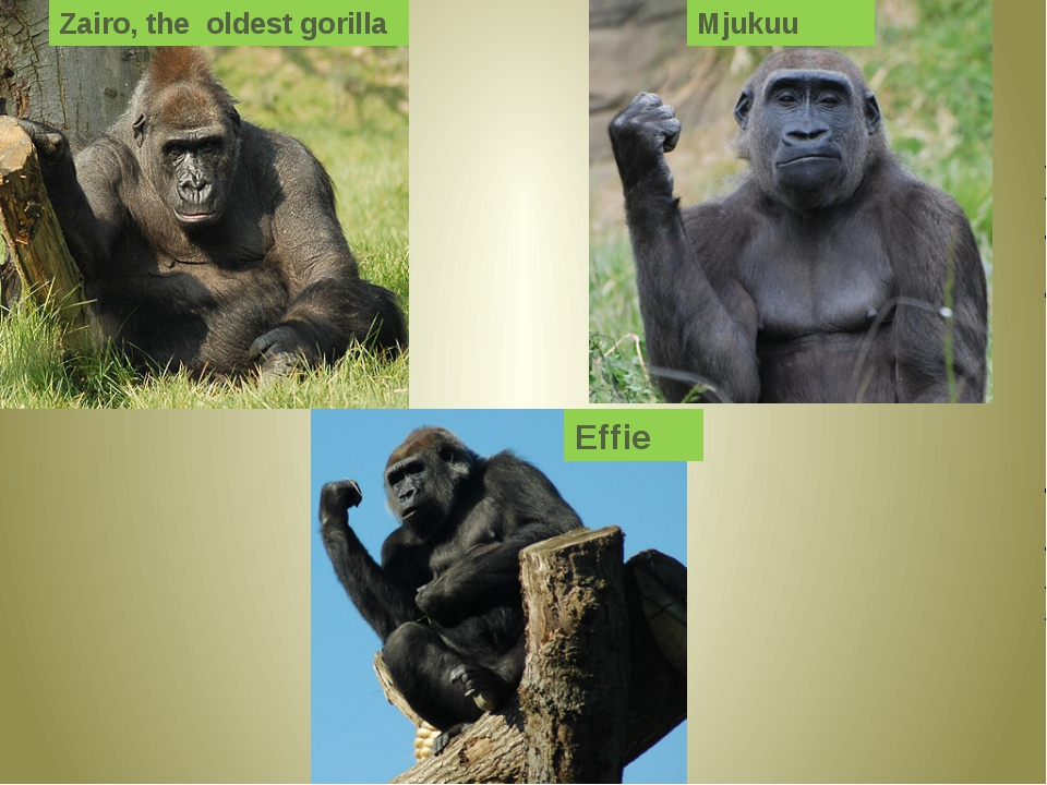 Zairo, the oldest gorilla Mjukuu Effie