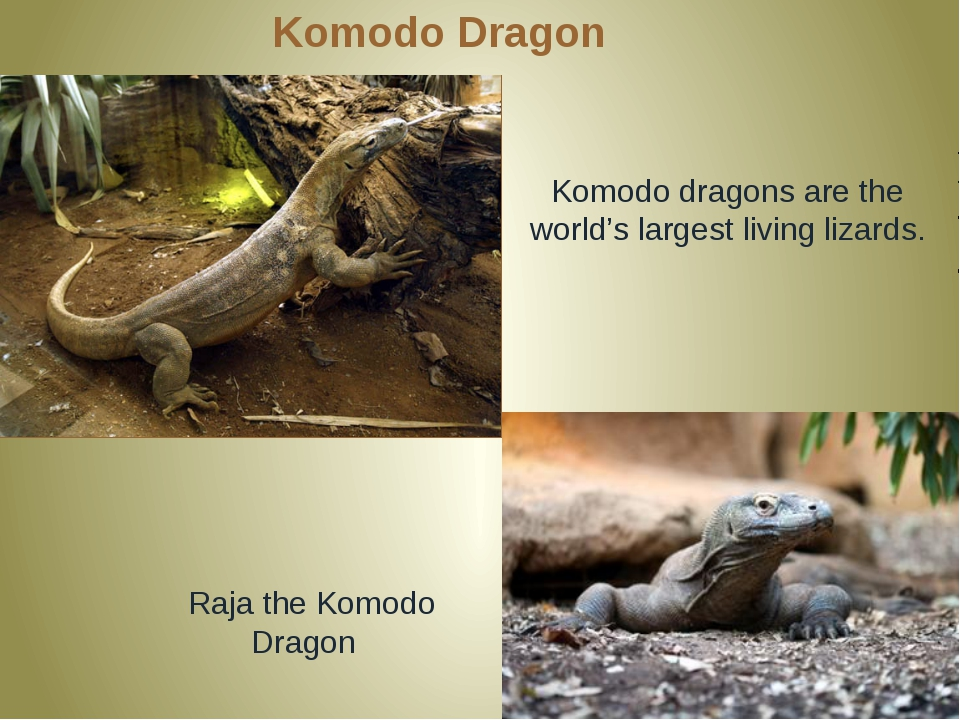 Komodo Dragon Komodo dragons are the world's largest living lizards. Raja the...