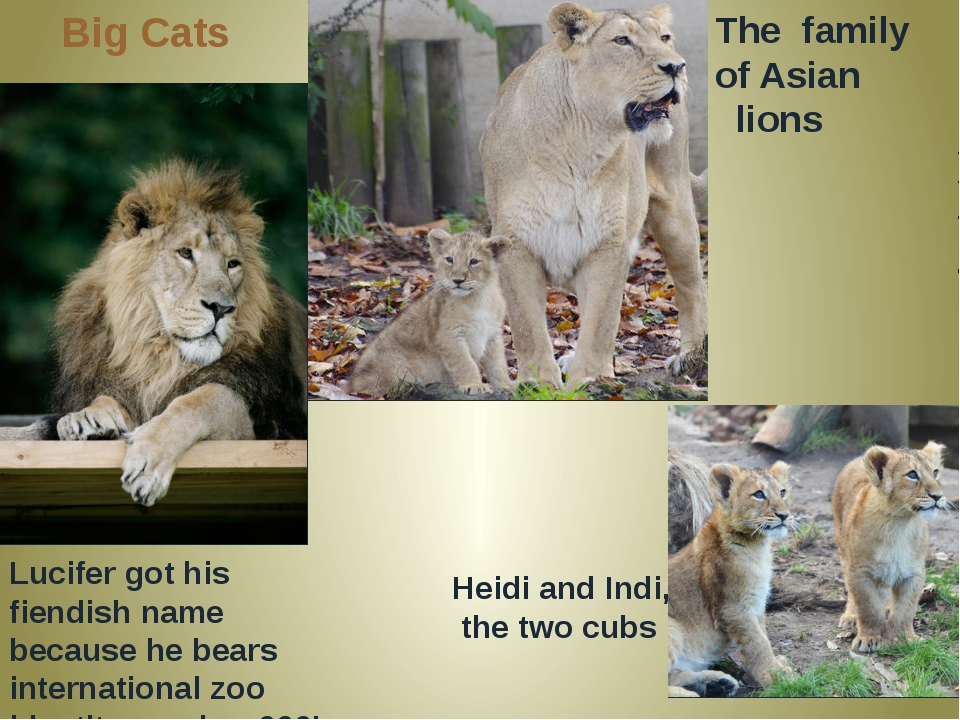 Big Cats Lucifer got his fiendish name because he bears international zoo ide...