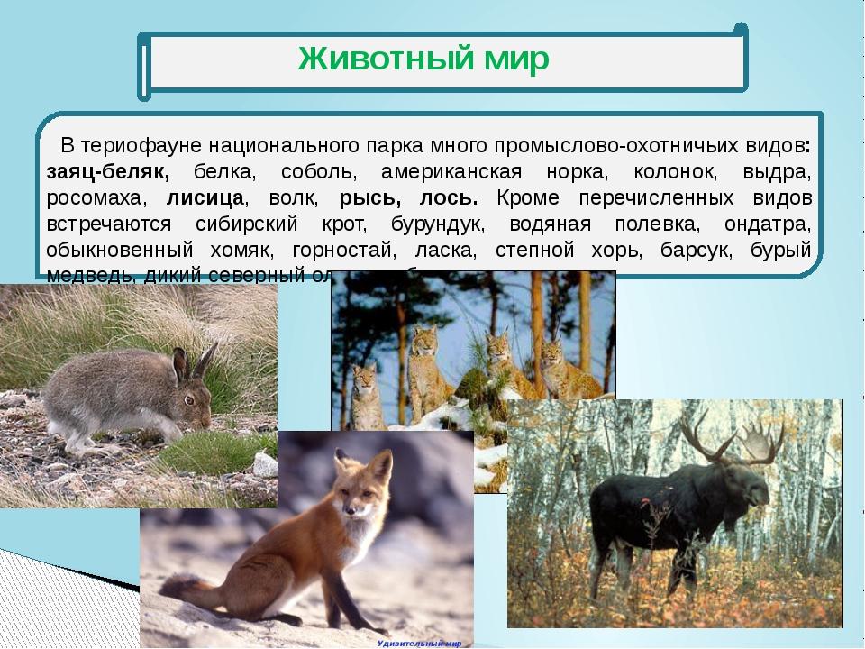 В териофауне национального парка много промыслово-охотничьих видов: заяц-бел...