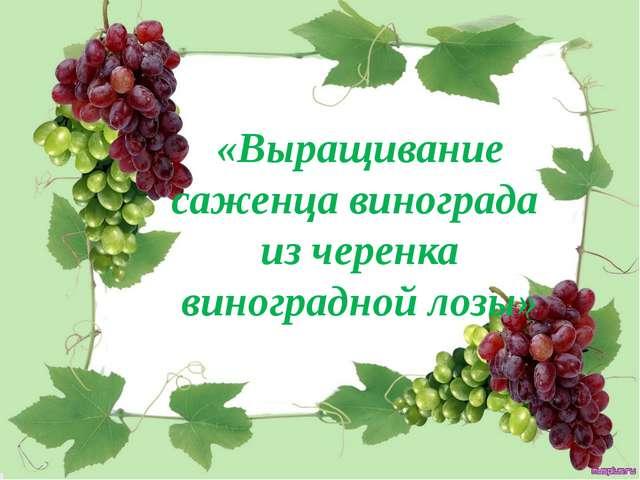 «Выращивание саженца винограда из черенка виноградной лозы»