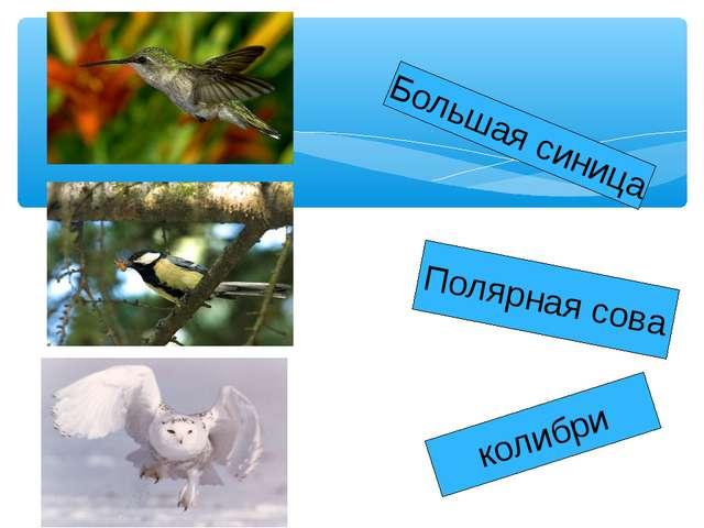 колибри Полярная сова Большая синица