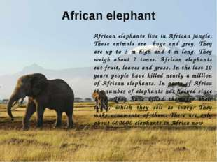 African elephant African elephants live in African jungle. These animals are