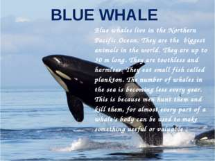 BLUE WHALE Blue whales live in the Northern Pacific Ocean. They are the bigge