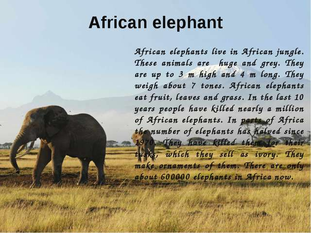 African elephant African elephants live in African jungle. These animals are...