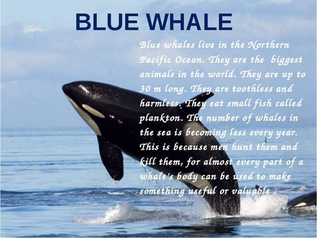BLUE WHALE Blue whales live in the Northern Pacific Ocean. They are the bigge...