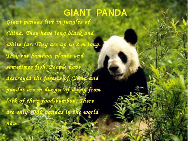 GIANT PANDA Giant pandas live in jungles of China. They have long black and w...