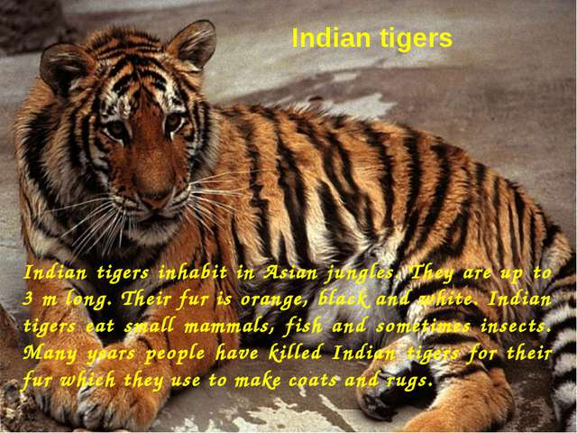 Indian tigers Indian tigers inhabit in Asian jungles. They are up to 3 m long...