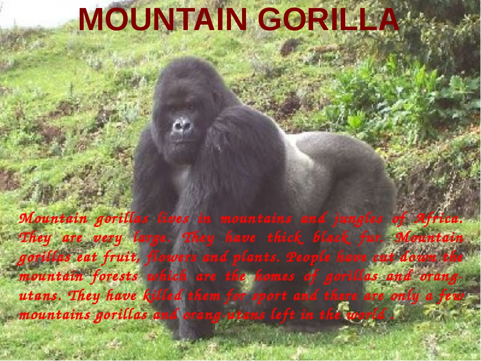 MOUNTAIN GORILLA Mountain gorillas lives in mountains and jungles of Africa....