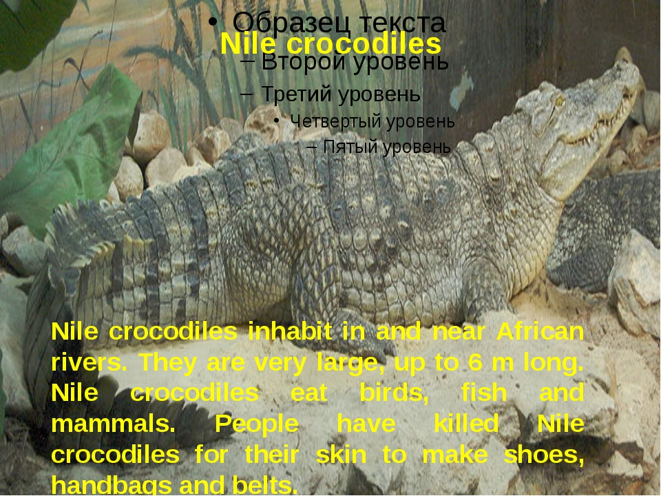 Nile crocodiles Nile crocodiles inhabit in and near African rivers. They are...