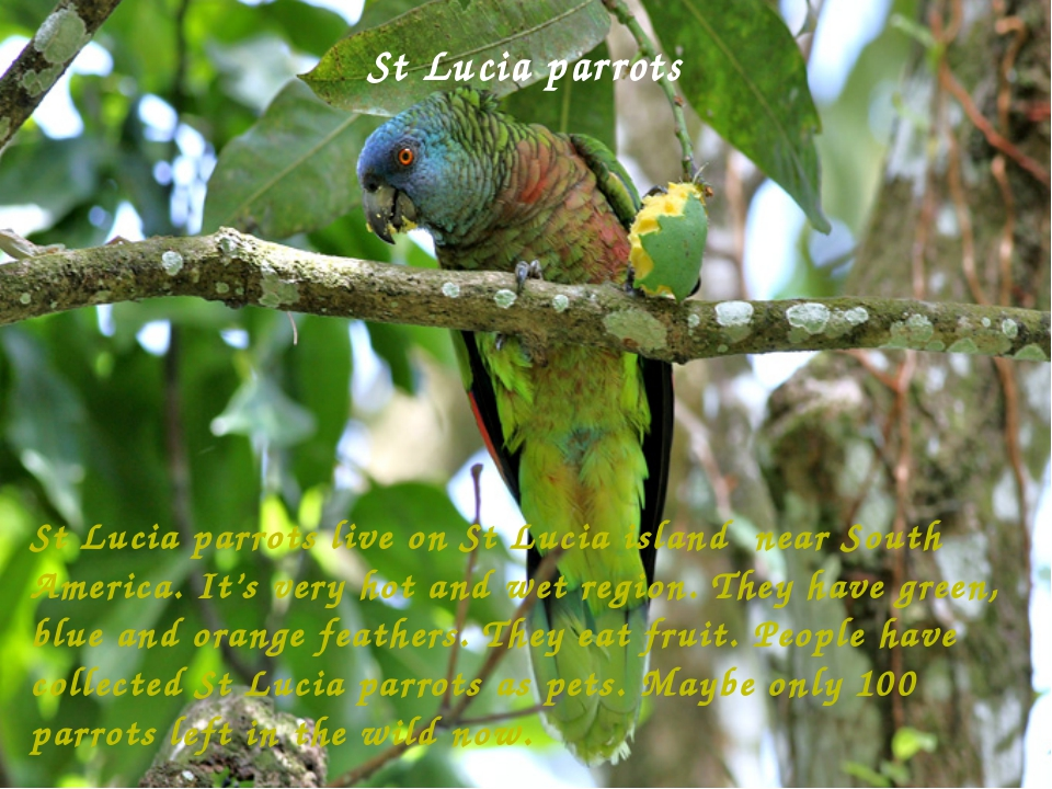 St Lucia parrots   St Lucia parrots live on St Lucia island near South Americ...