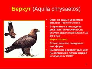 * Беркут (Aquila chrysaetos) Один из самых уязвимых видов в Пермском крае. В