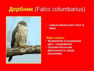 * Дербник (Falco columbarius) Самый маленький сокол в мире Меры охраны Выявле