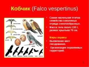 * Кобчик (Falco vespertinus) Самая маленькая птичка семейства соколиных отряд