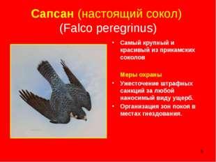 * Сапсан (настоящий сокол) (Falco peregrinus) Самый крупный и красивый из при