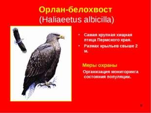 * Орлан-белохвост (Haliaeetus albicilla) Самая крупная хищная птица Пермского