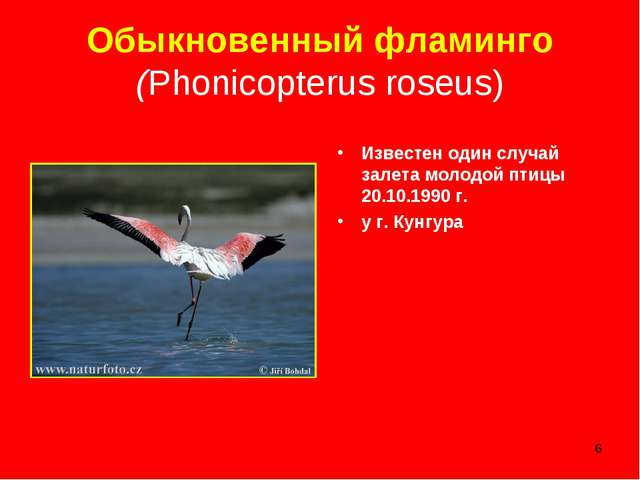 * Обыкновенный фламинго (Phonicopterus roseus) Известен один случай залета мо...