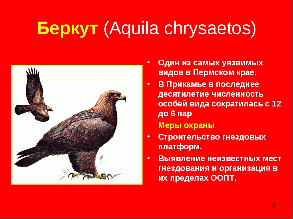 * Беркут (Aquila chrysaetos) Один из самых уязвимых видов в Пермском крае. В...