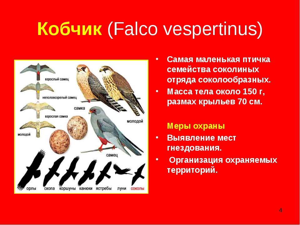 * Кобчик (Falco vespertinus) Самая маленькая птичка семейства соколиных отряд...