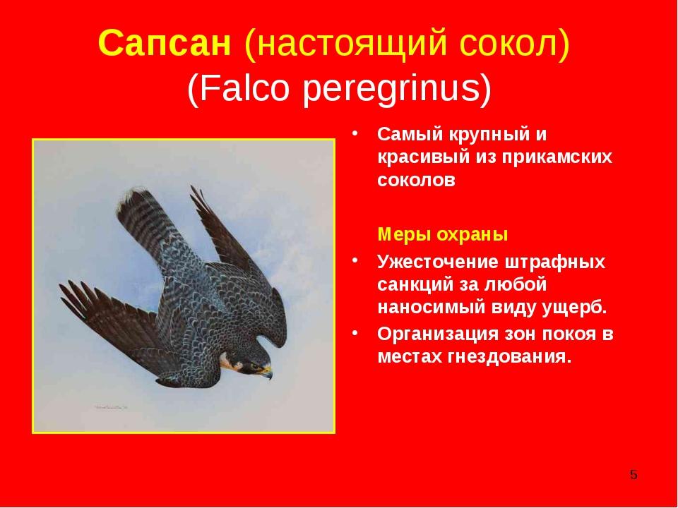 * Сапсан (настоящий сокол) (Falco peregrinus) Самый крупный и красивый из при...