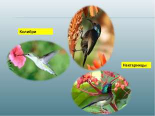 Нектарницы Колибри